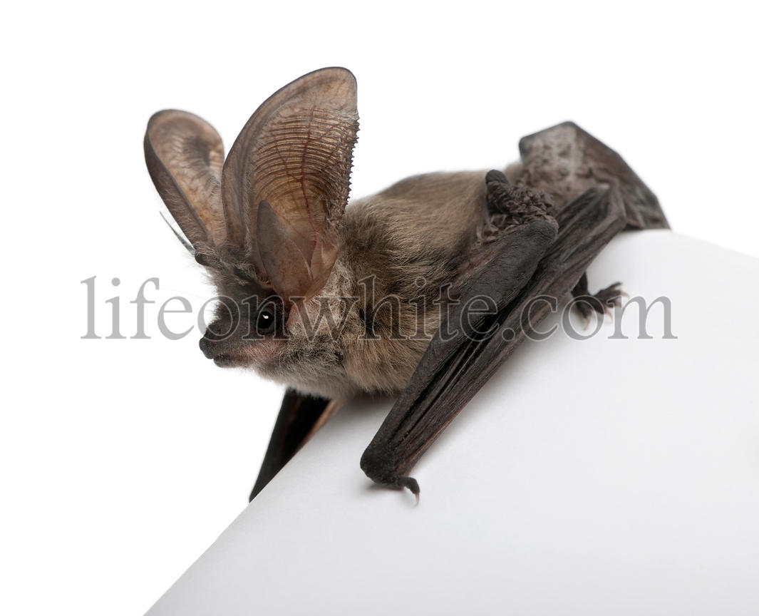 Grey long-eared bat, Plecotus astriacus
