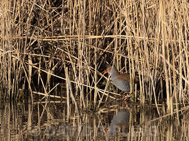 Water Rail, Rallus aquaticus, male, Cley, Norfolk, winter
