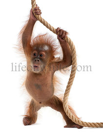 Baby Sumatran Orangutan hanging on rope, 4 months old, in front of white background