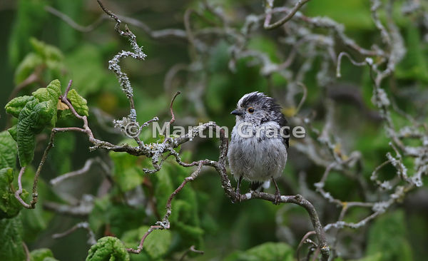Long-Tailed Tit (Aegithalos caudatus) standing in a garden Contorted Hazel (Corylus avellana Contorta), Lake District Nationa...