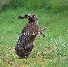 European Brown Hare (Lepus europaeus) grooming and shadow-boxing, Cairngorm National Park, Scotland: Image 6 of a sequence of 13