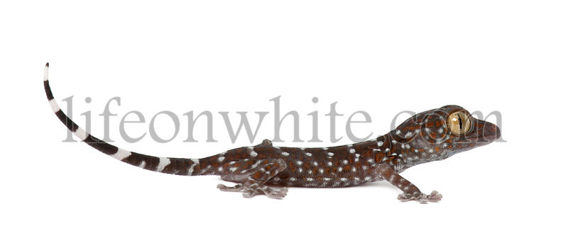 Tokay Gecko, Gekko gecko, against white background