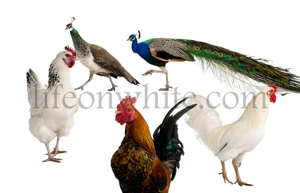 Peacocks, hens and rooster in front of white background