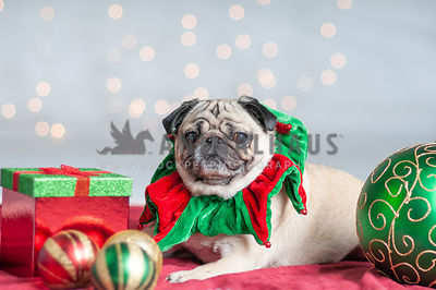 Pug Holiday Portrait