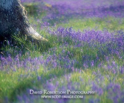Image - Temple wood, Bluebells, Soft focus