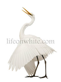 Great Egret or Great White Egret or Common Egret, Ardea alba, standing in front of white background