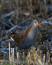 Water Rail  Rallus aquaticus male North Norfolk winter
