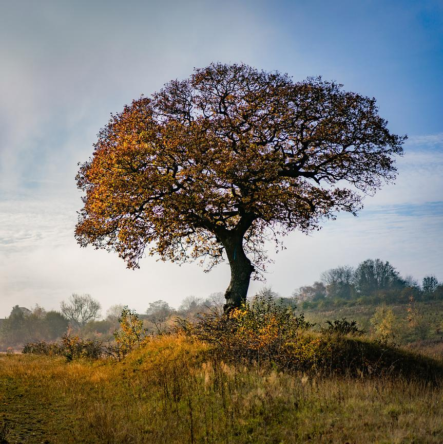 Roadside Oak