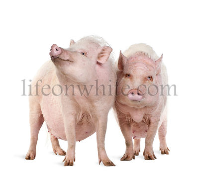 Gottingen minipigs standing against white background, studio shot
