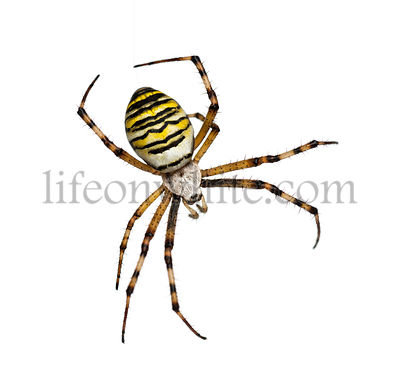 Wasp Spider, Argiope bruennichi, hanging on silk against white background