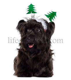 Skye Terrier with Christmas decorations, isolated on white