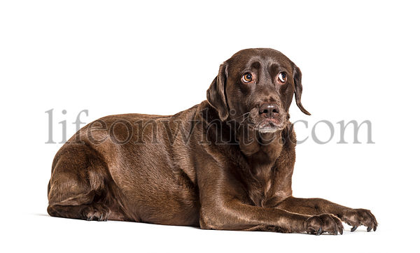 Unhappy Lying Chocolat Labrador afraid, questionning, expressive