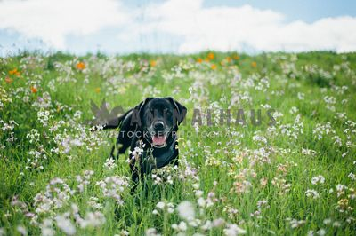 Happy Lab in a field of wildflowers