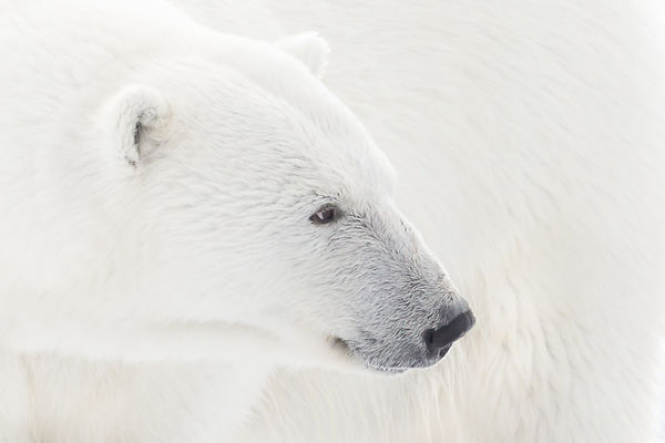 Polar Bear In Focus