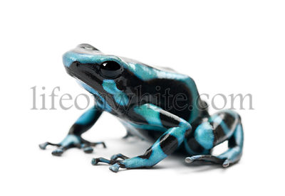Green and Black Poison Dart Frog or the Green and Black Poison Arrow Frog, Dendrobates auratus, against white background