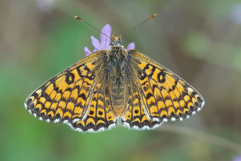 Melitaea species