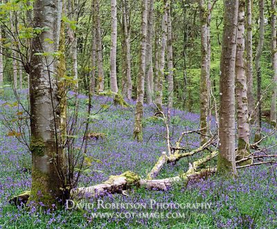 Image - Bluebells in Cally Wood, Gatehouse of Fleet,  Scotland