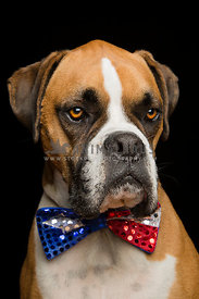 Flashy Boxer Dog Wearing Red White and Blue Sparkly Bowtie on black background