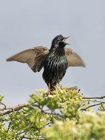 Starling Sturnus vulgarus in song display close to nest in garden North Norfolk UK spring