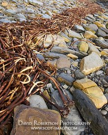 Image - Seaweed stalks, Keiss beach, Caithness, Scotland