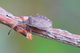 Closeup of a squasbug, Enopplops scapha on twig