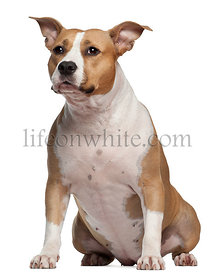 American Staffordshire Terrier, 3 and a half years old, sitting in front of white background