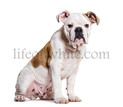 English Bulldog, 5 months old, sitting against white background