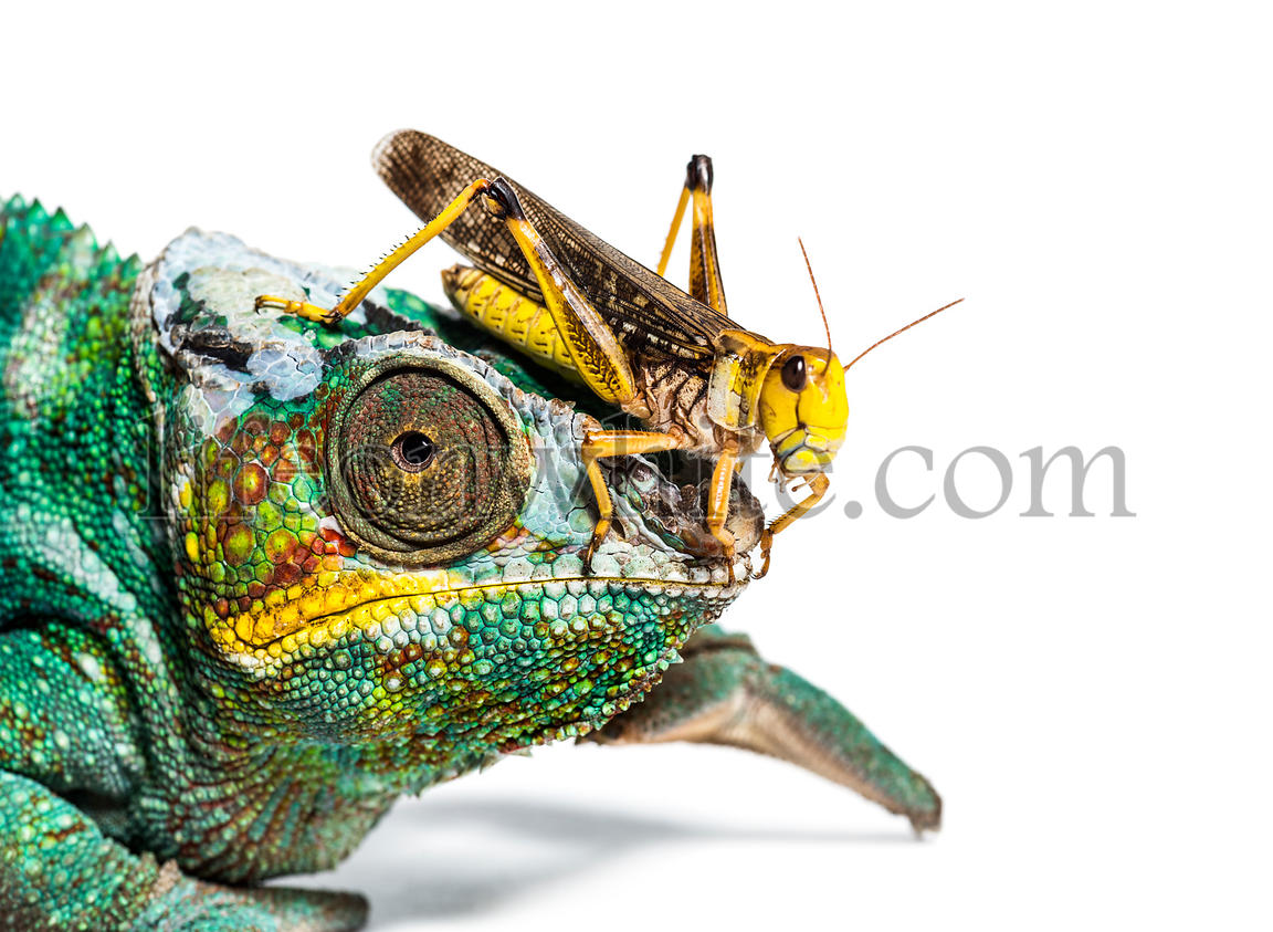 Migratory locust, Locusta migratoria and Panther chameleon, Furcifer pardalis, in front of white background