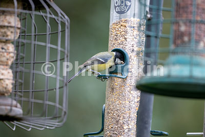 Great tit [Parus major] on a bird feeder.