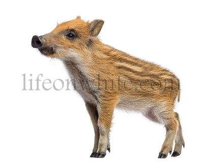 Wild boar, Sus scrofa, 2 months old, standing and looking away, isolated on white