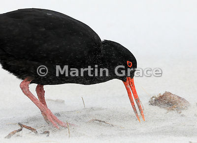 A dark morph Variable Oystercatcher (Haematopus unicolor) feeding in a sand flurry, Allan's Beach, Otago Peninsula, South Isl...