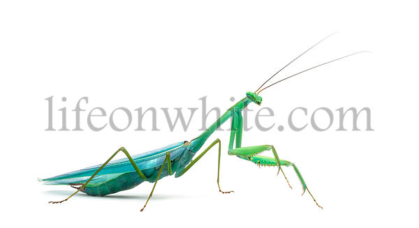 Male praying mantis - Macromantis ovalifolia, isolated on white