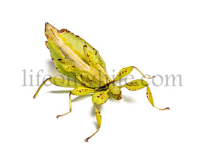 Leaf insect, Phyllium giganteum, in front of white background