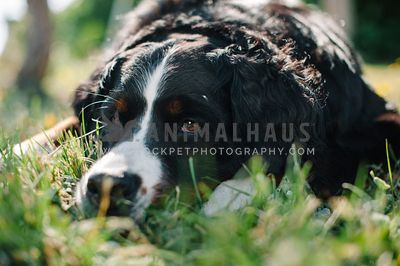A Bernese Mountain Dog relaxing in the sun in the grass