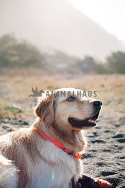 A golden retriever takes a break in the sand