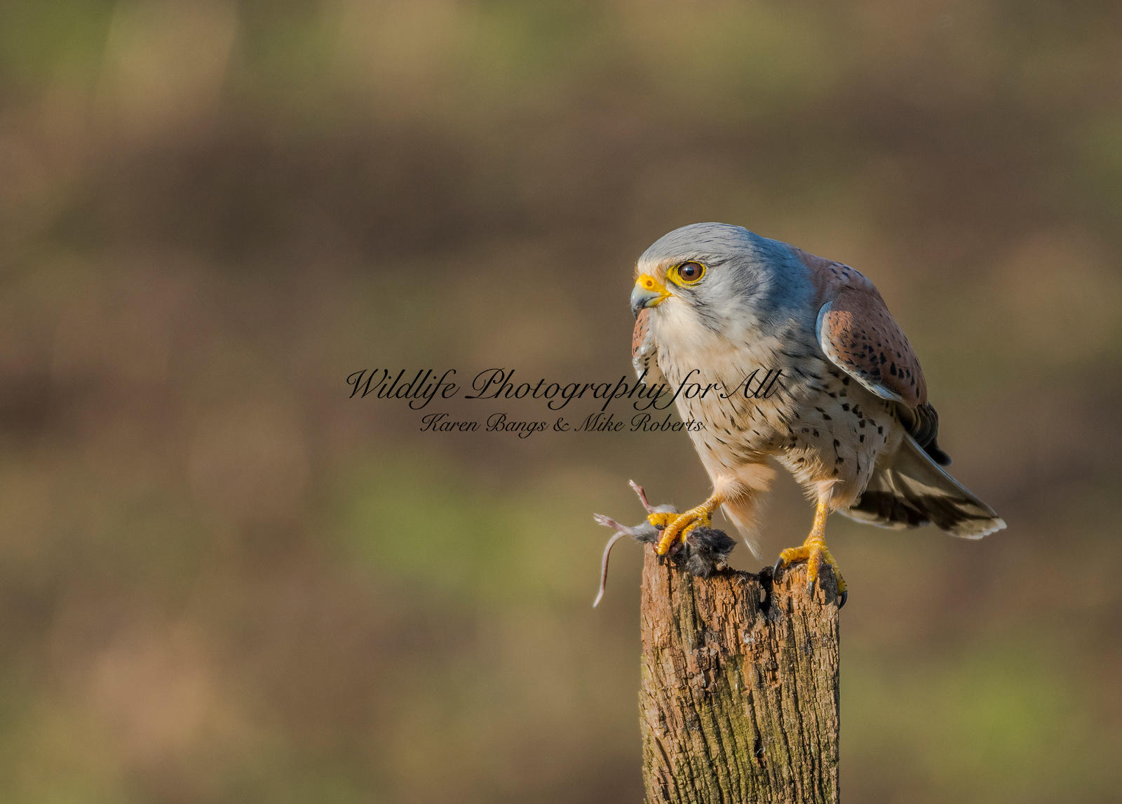 Male Kestrel - Mike Roberts