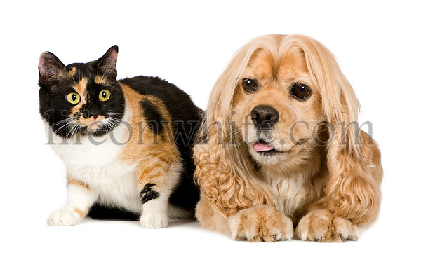 american Cocker Spaniel (3 years) and a Cat