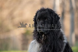 head shot of black and white newfoundland looking away