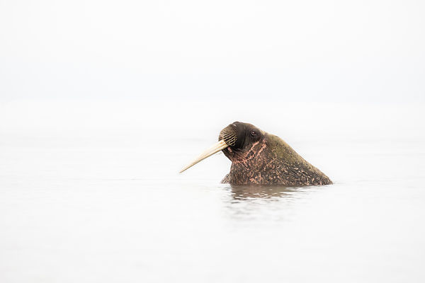 Walrus In Profile