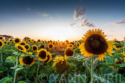 Field of Sunflowers at sunset, Sangatte, Hauts de France, France∞Tournesols au coucher de soleil, France, Hauts de France, Sa...