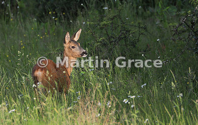 Roe Deer doe (Capreolus capreolus) in golden evening sunlight in a South Lakeland grazing meadow, June, Lake District Nationa...
