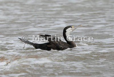 Pied Shag (Phalacrocorax varius varius) just after entering the sea, Coromandel Peninsula, Auckland, North Island, New Zealand