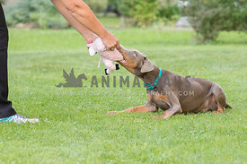 A fawn doberman playing tug of war with his mom
