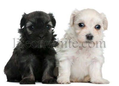 Lowchen or Little Lion puppies, 3 weeks old, sitting in front of white background