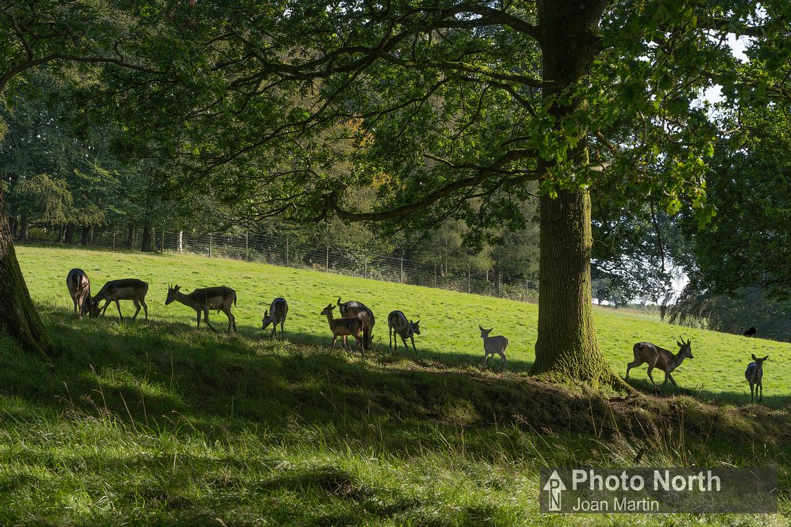 LEVENS 13A - Norwegian black fallow deer, Levens Park