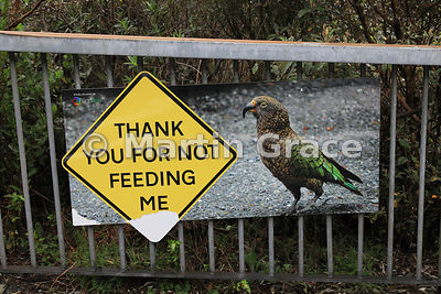 Thank You For Not Feeding Me sign warning against feeding the Kea (Nestor notabilis), State Highway 73 north of Arthur's Pass...