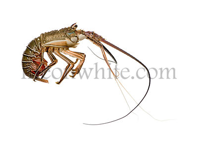 Spiny lobster - Palinuridae