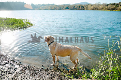 A yellow lab dripping wet standing on the edge of a lake