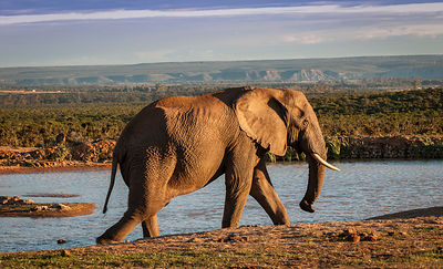 Elephant at the Waterhole, Addo, South Africa.