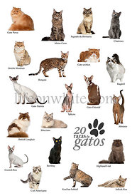 Cat breeds poster in Spanish